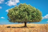 Arganboom in Marokko tuinposter